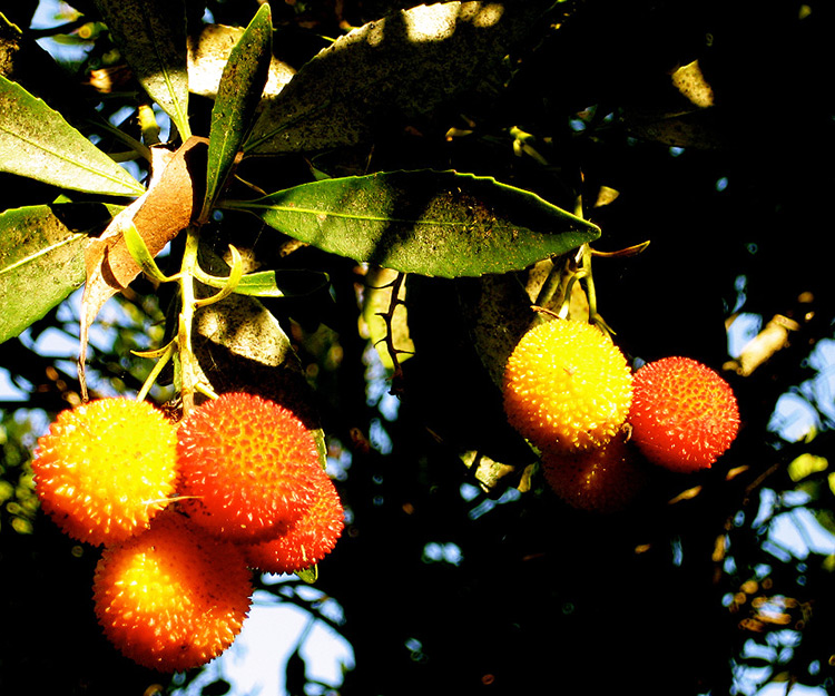 Arbutus-Unedo-(Strawberry-Tree)