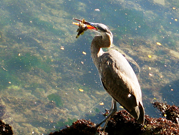 Blue-Heron,-Santa-Cruz-California